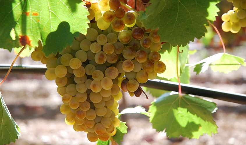 A-viticultura-alentejana